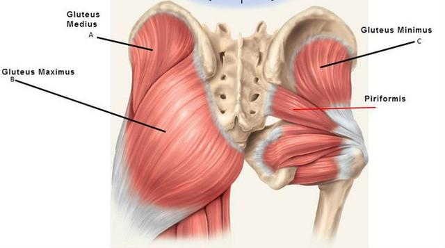Cấu trúc cơ mông